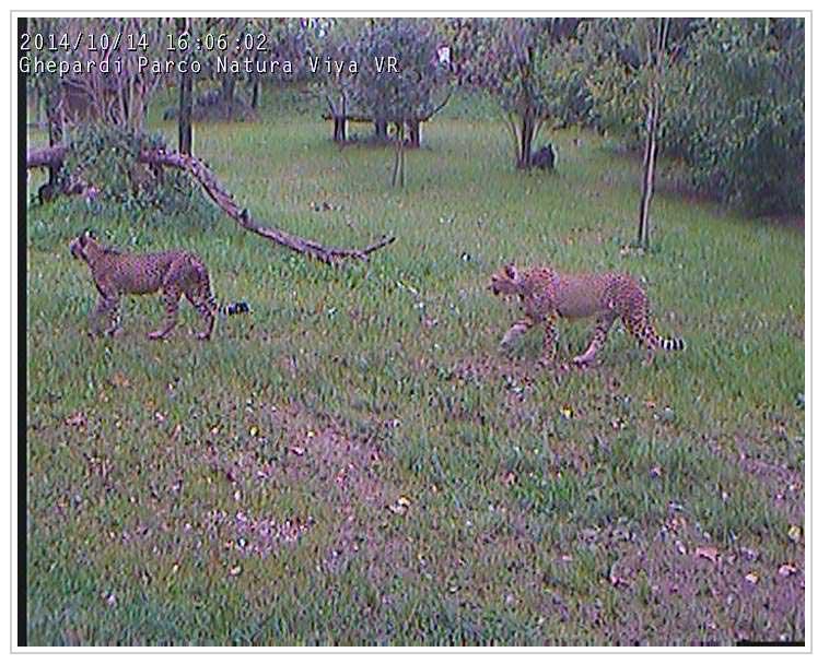 Michela de Mattei, Video streaming, cheetahs at Natura Viva Park, Verona, 2014.